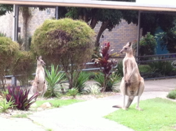 Kangaroos Hop in for Learning at Noosaville State School